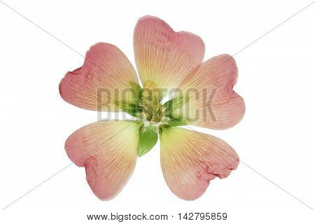 Pressed and dried pink flower mallow (malva). Isolated on white background. For use in scrapbooking floristry (oshibana) or herbarium.