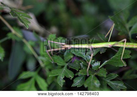 The Mediterranean stick insect Bacillus rossius in a bush.