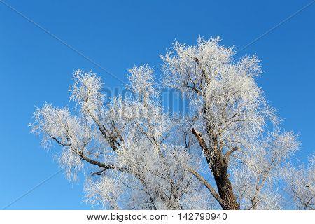 Branch In Hoarfrost