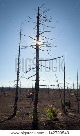 Tolbachik dead forest, a silent witness of a disaster, Kamchatka, Russia