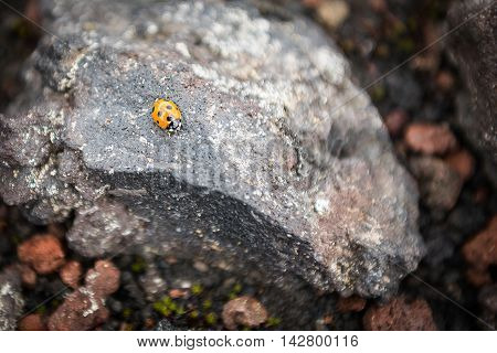 Ladybug on a rock on the slopes of Tolbachik Volcano, Kamchatka, Russia