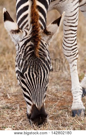 Front View Of A Burchell's Zebra