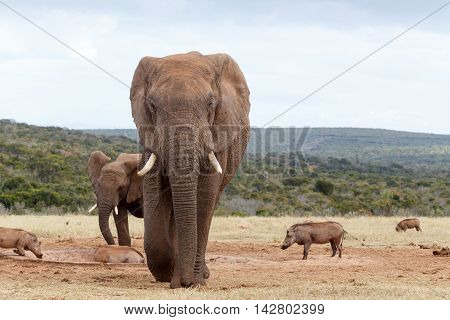 Coming Straight At You - African Bush Elephant