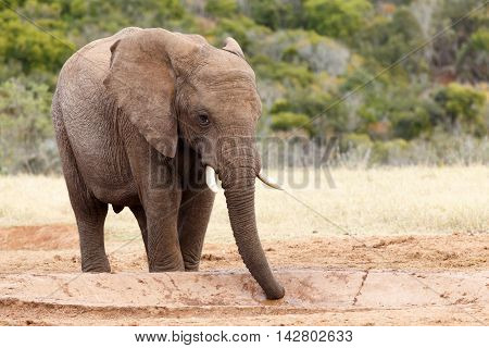 Sucking Up The Water - African Bush Elephant