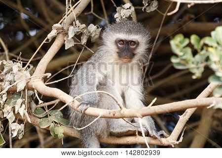 It's Monkey Time - Vervet Monkey
