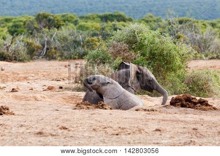 Fun In The Sun - African Bush Elephant