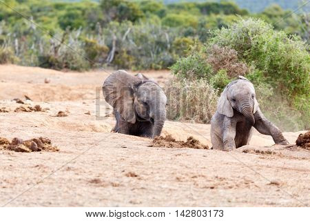 Follow Me - African Bush Elephant