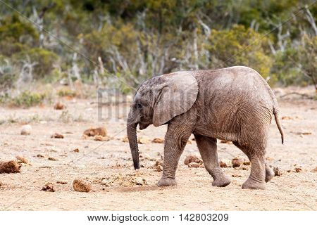 Keep Your Head Down - African Bush Elephant
