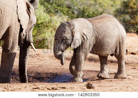 Trunk Twist - African Bush Elephant