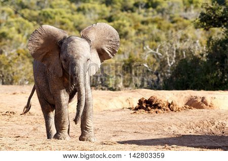 Big Ears -  African Bush Elephant