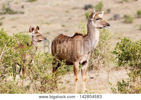 Where Do We Go From Here - Female Kudu