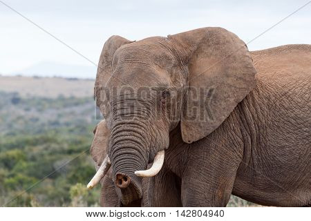 I Know You - African Bush Elephant
