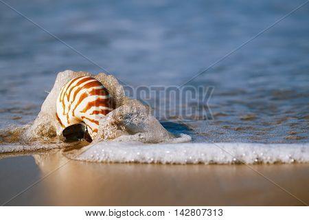 nautilus pompilius seashell on sea beach, Agadir ,Marocco