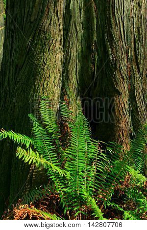 a picture of an exterior Pacific Northwest Douglas fir tree trunk and deer fern
