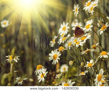 Butterfly on a camomile field in summer day