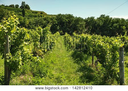 Alley of vineyards on sunny day, Badasconytomaj, Balaton lake, Hungary