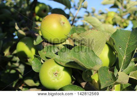 Apple orchard sunny day glistening apple tree