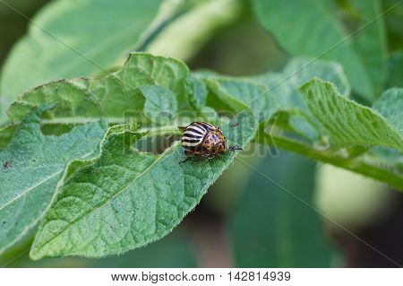 Colorado potato beetle closeup on a potato leaf