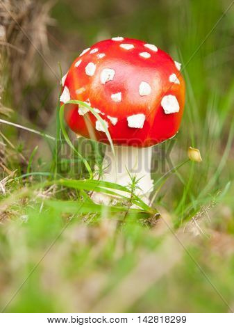 Young fly agaric, or fly amanita, red mushroom with typical white dots. Poisonous mushroom in the forest grass.