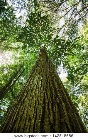 Tall giant tree in green forest