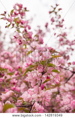 Spring blossom: branches of a blossoming apple tree on sky background. Pink apple tree flowers on nature background.
