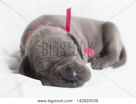 Purebred grey Great Dane fast asleep on a white sheet