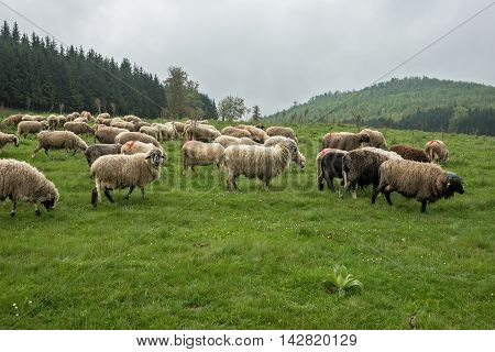 Hairy sheep on a green meadow in a mountain Brezovica Serbia