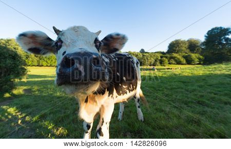 Norman cow grazing in green pastures of France