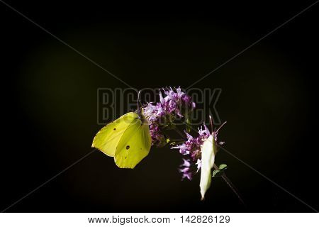 two species of butterflies pollinating a purple flower