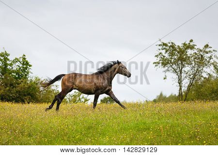 Running horse on the meadow at summer time