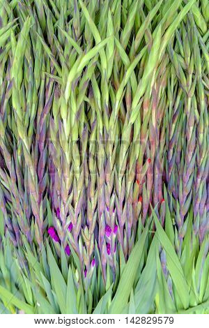 Spikes of fresh green leaves with pretty purple spring flowers coming into bloom in a close up full frame view