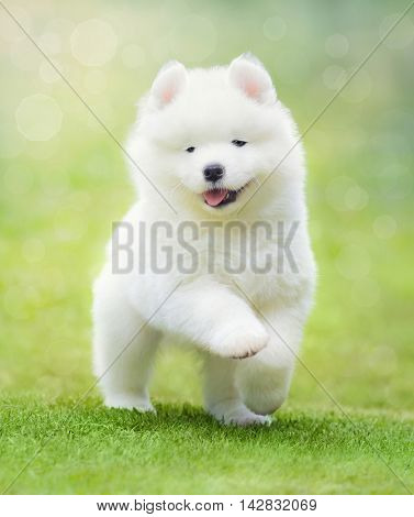 White puppy of Samoyed dog running on green grass. Soft focus.