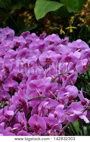 Beautiful Purple Orchid, Phalaenopsis.