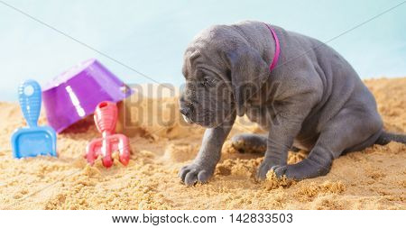 Great Dane purebred that is being cautious on the sand