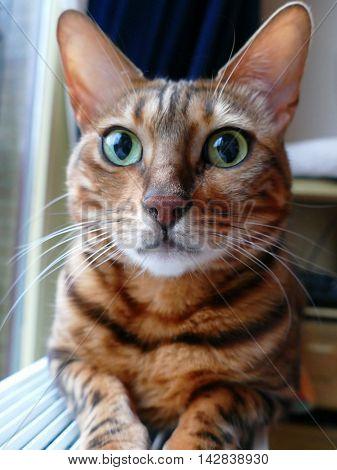 Bengal Cat: Bengal Cat Head Looking In Camera Taken At Home