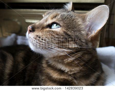Bengal Cat: Marble Bengal Cat Taken At Home