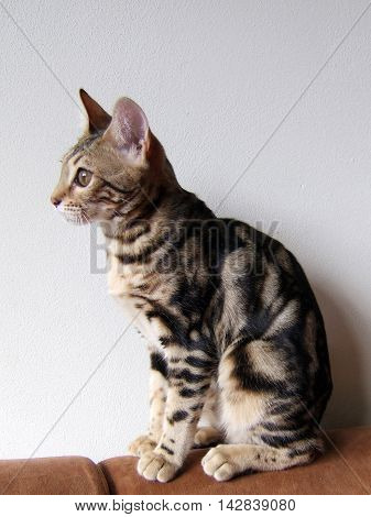 Marble bengal sitting side view taken at home
