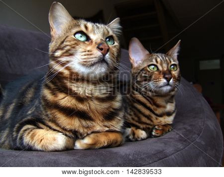 Two bengals cats sitting next to each other looking same sides
