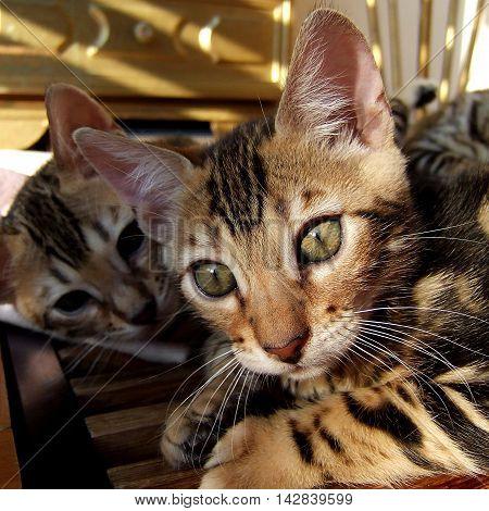 Bengal cat kitten relaxing with sibling taken at home