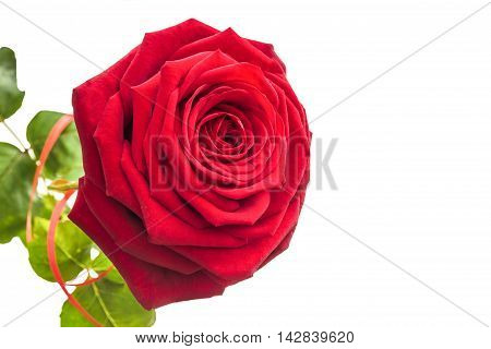 One isolated lush rose. 1 rose on a white background with leaves.