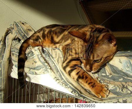 Bengal Cat: Marble Bengal Cat Relaxing Taken At Home
