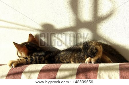 Bengal Cat: Marble Bengal Cat Kitten Relaxing On Light Background