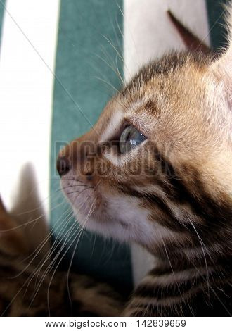 Bengal kitten head with striped background taken at home