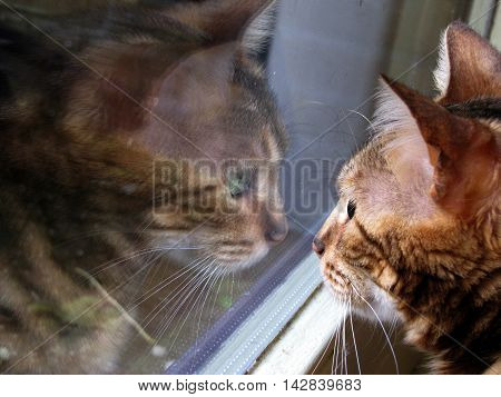 Bengal Cat: Close Up Portrait With Mirror Reflection In Window
