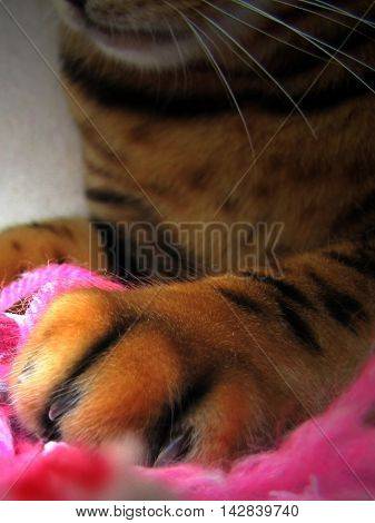 Bengal Cat: Trimmed Nails Claws Paw Close Up On Pink