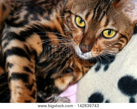 Bengal Cat: Cat Holding New Born Kitten With Focus On Eyes Mother