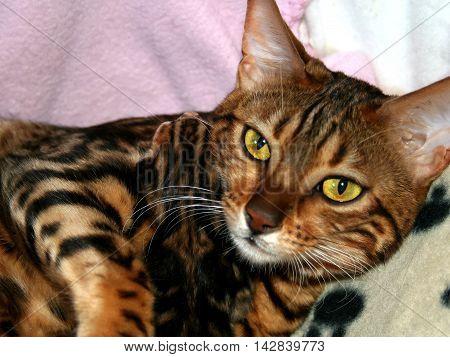 Bengal Cat: Cat Holding New Born Kitten With Focus On Kitten