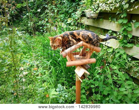 Bengal Cat: Marble Bengal Cat On Birdhouse