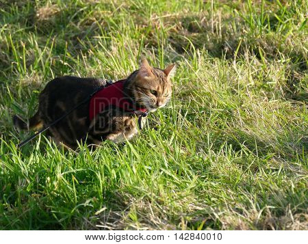 Bengal Cat Outside On A Leash Harness Eating Grass