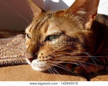 Bengal cat head bathing in sunlight, non studio shot